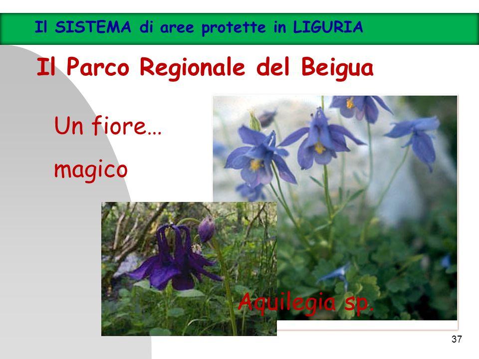 37 Il SISTEMA di aree protette in LIGURIA Il Parco Regionale del Beigua Un fiore… magico Aquilegia sp.