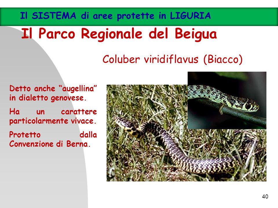 Coluber viridiflavus (Biacco) Detto anche augellina in dialetto genovese. Ha un carattere particolarmente vivace. Protetto dalla Convenzione di Berna.