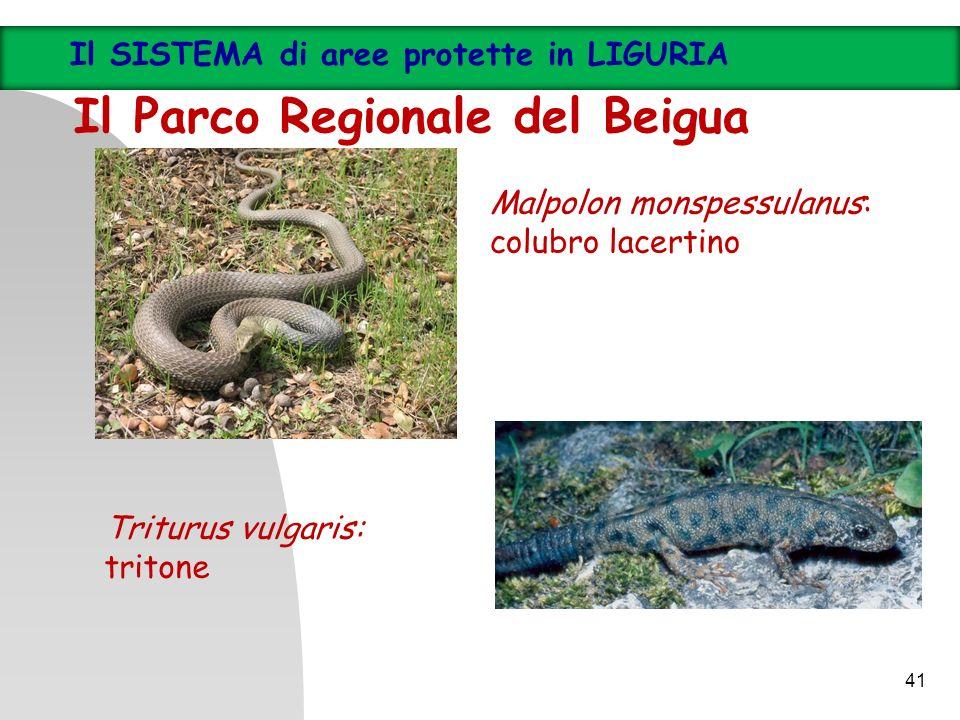 Malpolon monspessulanus: colubro lacertino Triturus vulgaris: tritone 41 Il SISTEMA di aree protette in LIGURIA Il Parco Regionale del Beigua