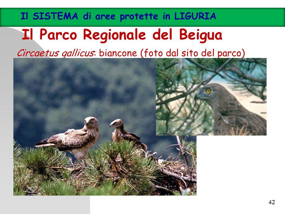 Circaetus gallicus: biancone (foto dal sito del parco) 42 Il SISTEMA di aree protette in LIGURIA Il Parco Regionale del Beigua