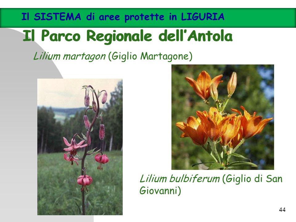 Lilium bulbiferum (Giglio di San Giovanni) Lilium martagon (Giglio Martagone) Il SISTEMA di aree protette in LIGURIA Il Parco Regionale dellAntola Il