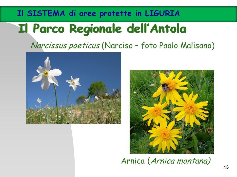 Arnica (Arnica montana) Narcissus poeticus (Narciso – foto Paolo Malisano) Il SISTEMA di aree protette in LIGURIA Il Parco Regionale dellAntola Il SIS