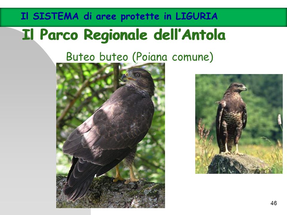 Buteo buteo (Poiana comune) Il SISTEMA di aree protette in LIGURIA Il Parco Regionale dellAntola Il SISTEMA di aree protette in LIGURIA Il Parco Regio