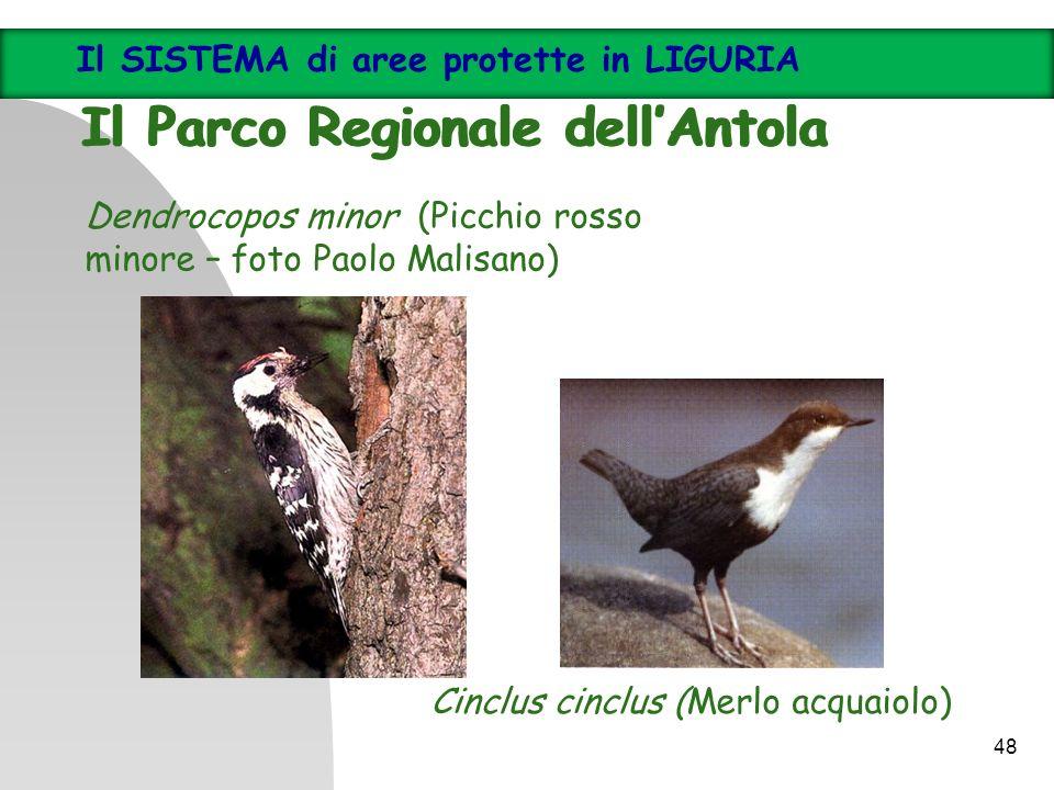 Cinclus cinclus (Merlo acquaiolo) Dendrocopos minor (Picchio rosso minore – foto Paolo Malisano) Il SISTEMA di aree protette in LIGURIA Il Parco Regio