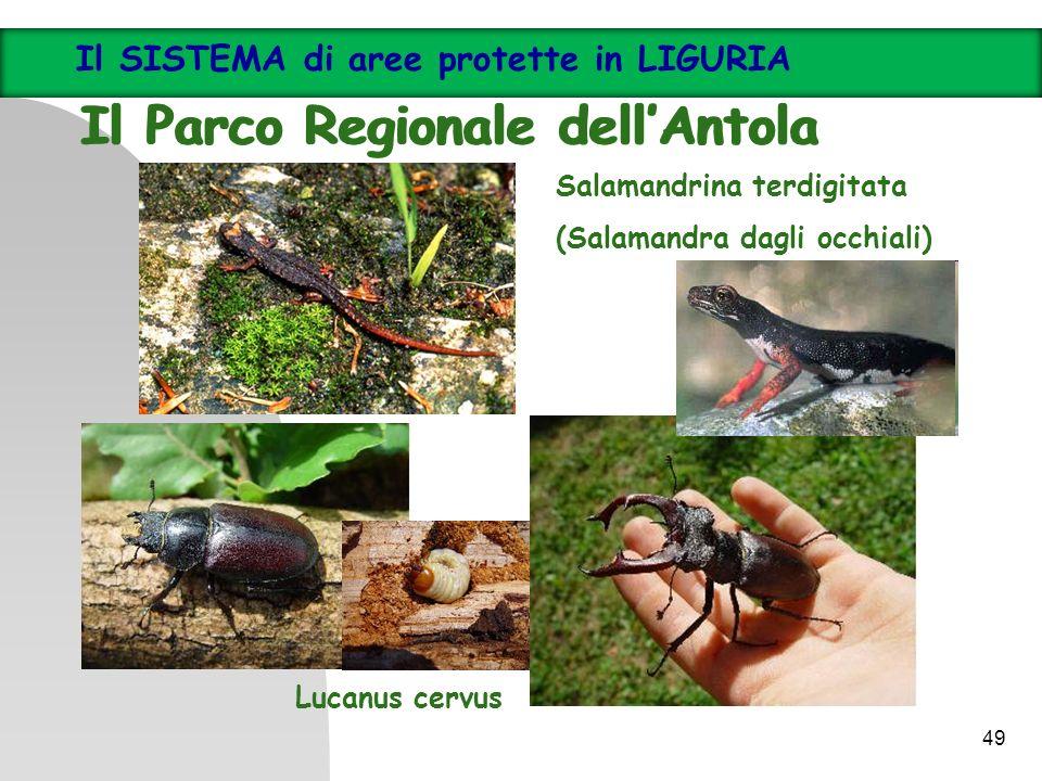 Salamandrina terdigitata (Salamandra dagli occhiali) Lucanus cervus Il SISTEMA di aree protette in LIGURIA Il Parco Regionale dellAntola Il SISTEMA di