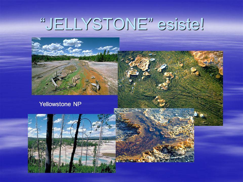 Yellowstone NP JELLYSTONE esiste!