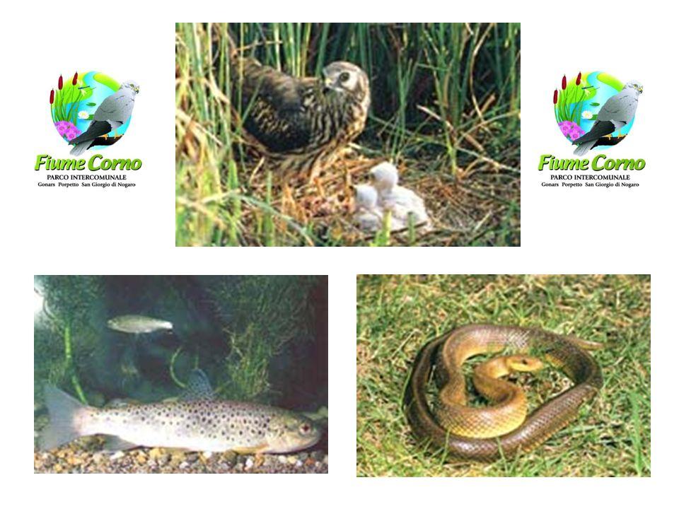 Natura: fauna Albanella minore Albanella reale Varie specie di rane Tritone crestato Lucertola vivipara Tartaruga di fiume Volpe Cinghiale Capriolo Le