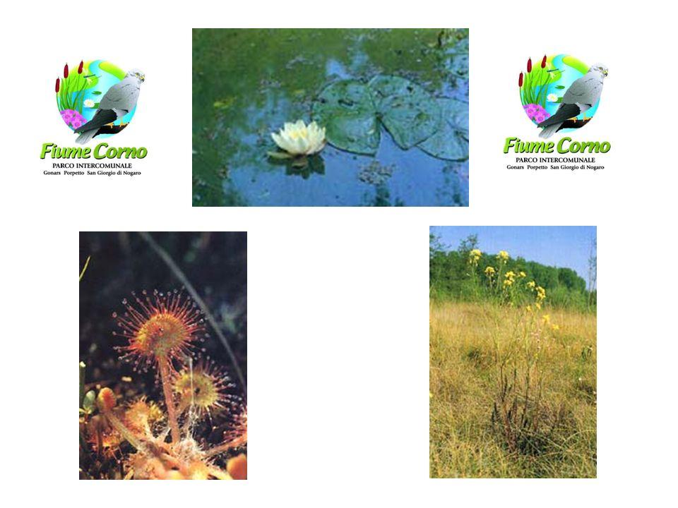Natura: flora Erucastrum palustre Orchis palustris Gentiana pneumonathe Euphrasia Marchesetti Cirsium canum Plantago altissima Allium suaveolens Senec