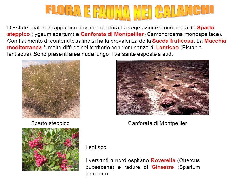 DEstate i calanchi appaiono privi di copertura.La vegetazione è composta da Sparto steppico (lygeum spartum) e Canforata di Montpellier (Camphorosma m