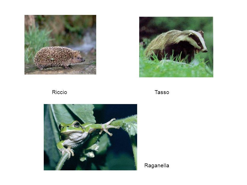 Riccio Tasso Raganella