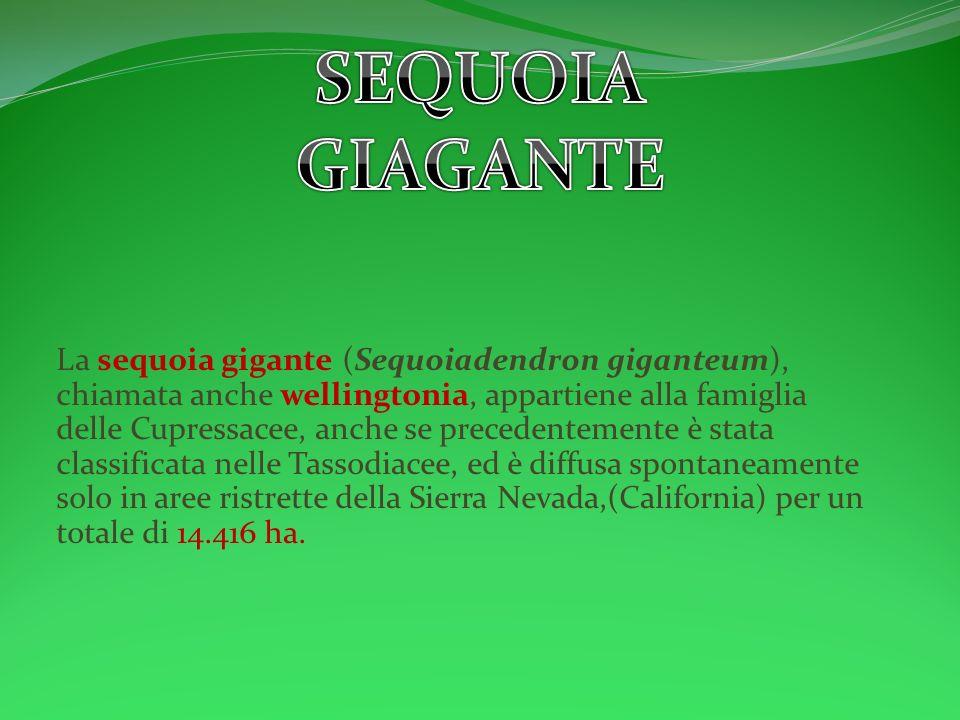 La sequoia gigante (Sequoiadendron giganteum), chiamata anche wellingtonia, appartiene alla famiglia delle Cupressacee, anche se precedentemente è sta