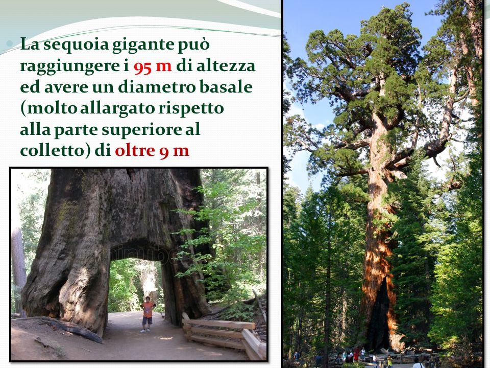 La sequoia gigante può raggiungere i 95 m di altezza ed avere un diametro basale (molto allargato rispetto alla parte superiore al colletto) di oltre