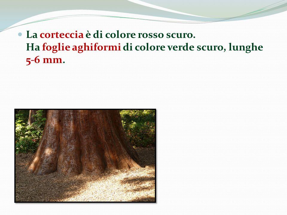 La corteccia è di colore rosso scuro. Ha foglie aghiformi di colore verde scuro, lunghe 5-6 mm.