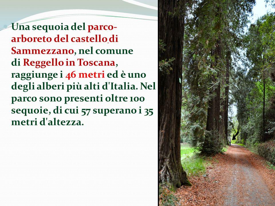 Una sequoia del parco- arboreto del castello di Sammezzano, nel comune di Reggello in Toscana, raggiunge i 46 metri ed è uno degli alberi più alti d'I