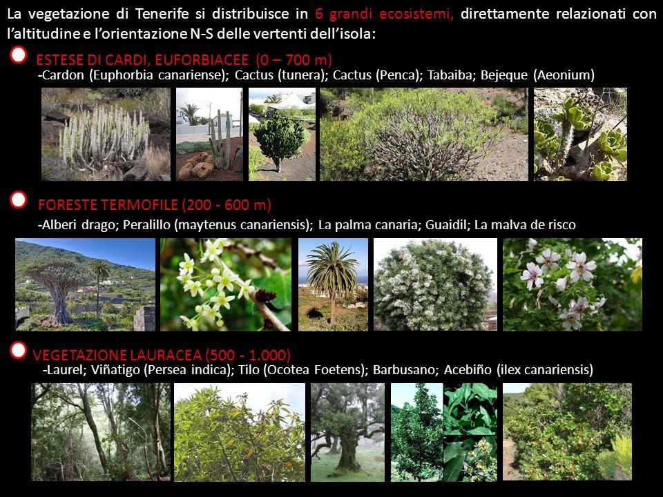 La vegetazione di Tenerife si distribuisce in 6 grandi ecosistemi, direttamente relazionati con laltitudine e lorientazione N-S delle vertenti dellisola: ESTESE DI CARDI, EUFORBIACEE (0 – 700 m) -Cardon (Euphorbia canariense); Cactus (tunera); Cactus (Penca); Tabaiba; Bejeque (Aeonium) FORESTE TERMOFILE (200 - 600 m) -Alberi drago; Peralillo (maytenus canariensis); La palma canaria; Guaidil; La malva de risco VEGETAZIONE LAURACEA (500 - 1.000) -Laurel; Viñatigo (Persea indica); Tilo (Ocotea Foetens); Barbusano; Acebiño (ilex canariensis)