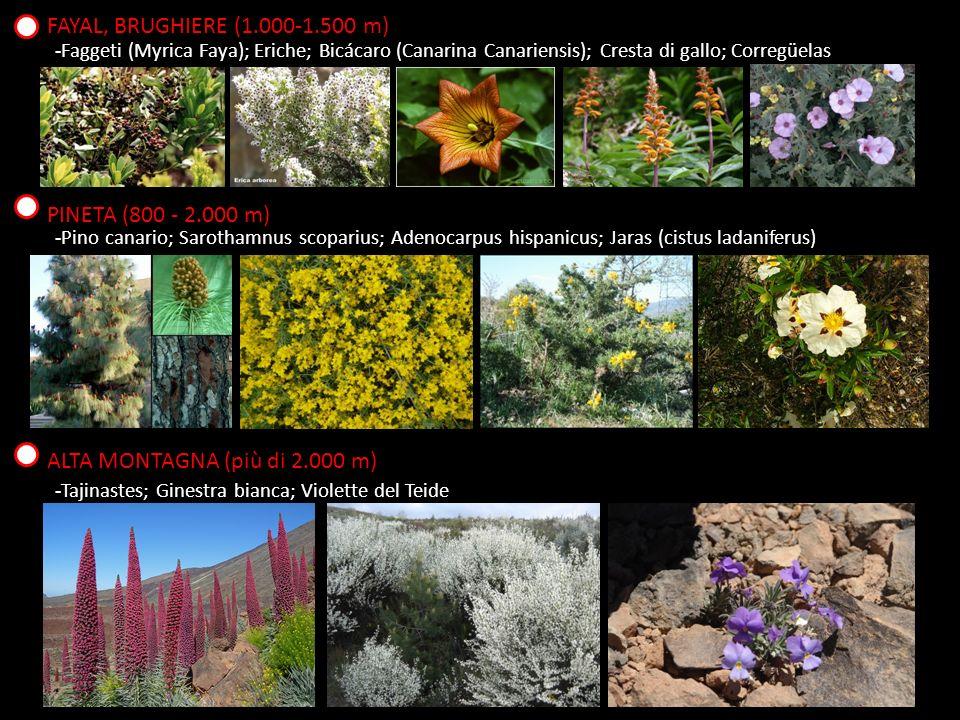 FAYAL, BRUGHIERE (1.000-1.500 m) -Faggeti (Myrica Faya); Eriche; Bicácaro (Canarina Canariensis); Cresta di gallo; Corregüelas PINETA (800 - 2.000 m) -Pino canario; Sarothamnus scoparius; Adenocarpus hispanicus; Jaras (cistus ladaniferus) ALTA MONTAGNA (più di 2.000 m) -Tajinastes; Ginestra bianca; Violette del Teide