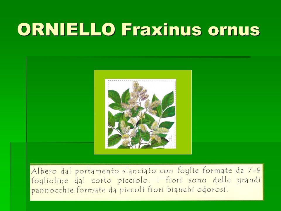 ORNIELLO Fraxinus ornus Incolla qui limmagine