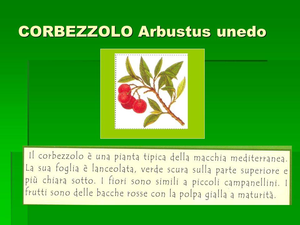 CORBEZZOLO Arbustus unedo Incolla qui limmagine