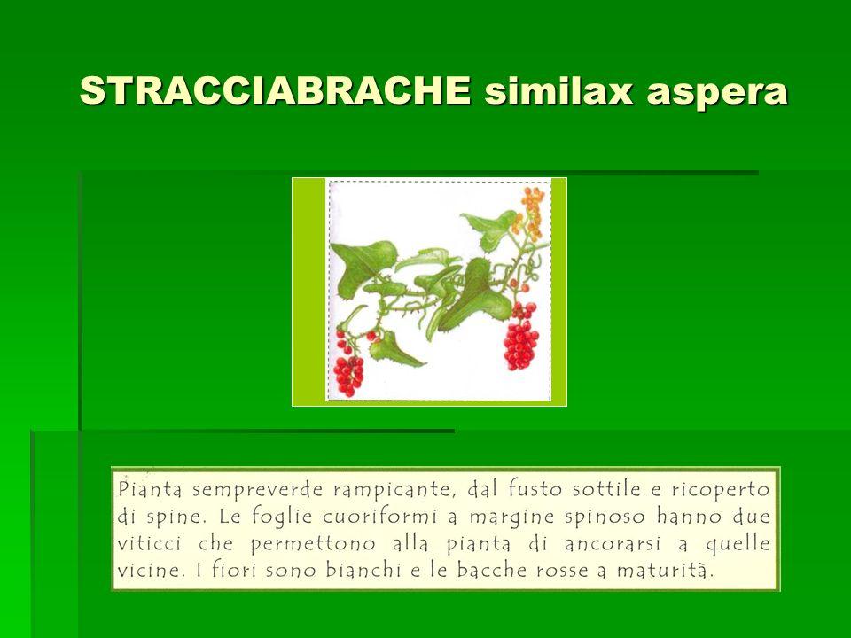 LECCIO quercus ilex Incolla qui limmagine