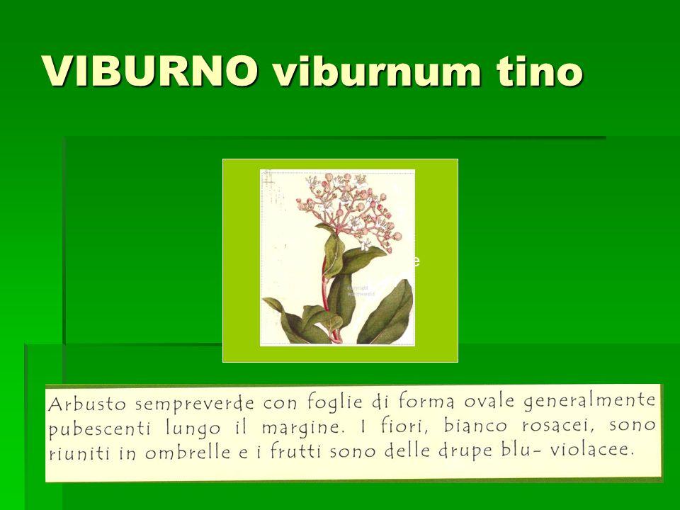 VIBURNO viburnum tino Incolla qui limmagine