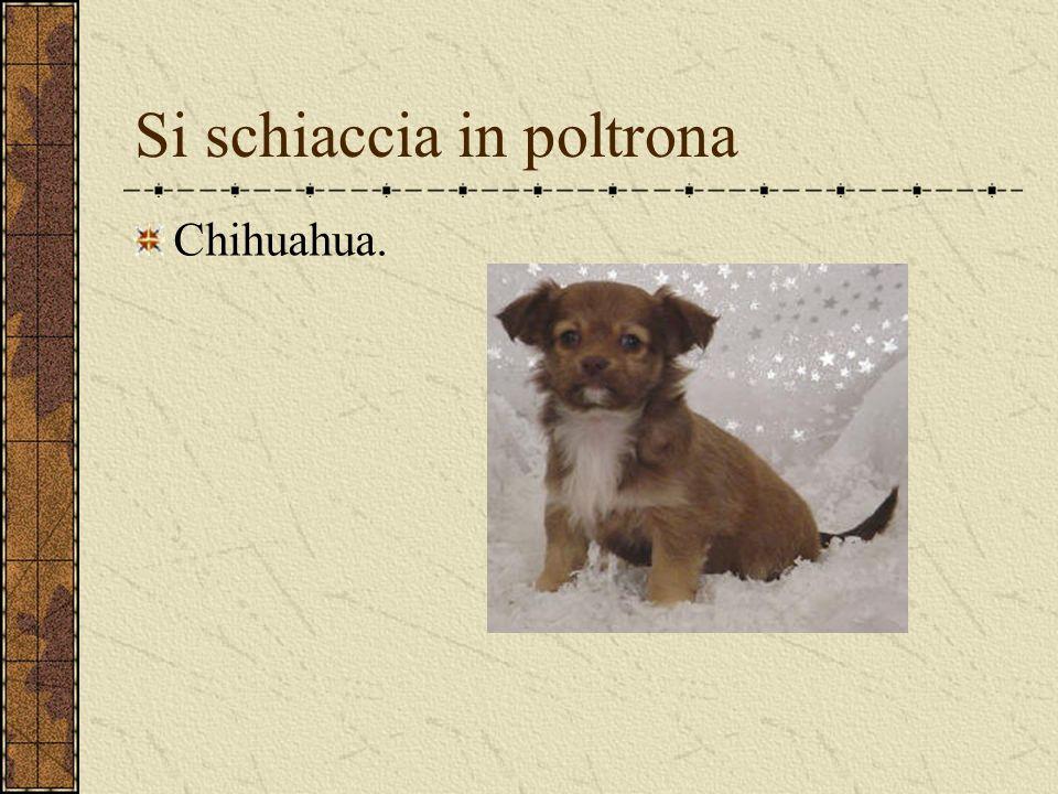 Si schiaccia in poltrona Chihuahua.