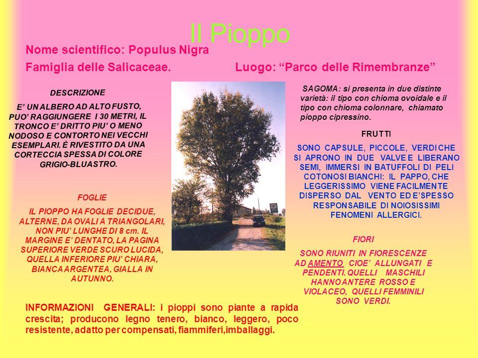 Il Pioppo Nome scientifico: Populus Nigra Famiglia delle Salicaceae. Luogo: Parco delle Rimembranze DESCRIZIONE E UN ALBERO AD ALTO FUSTO, PUO RAGGIUN