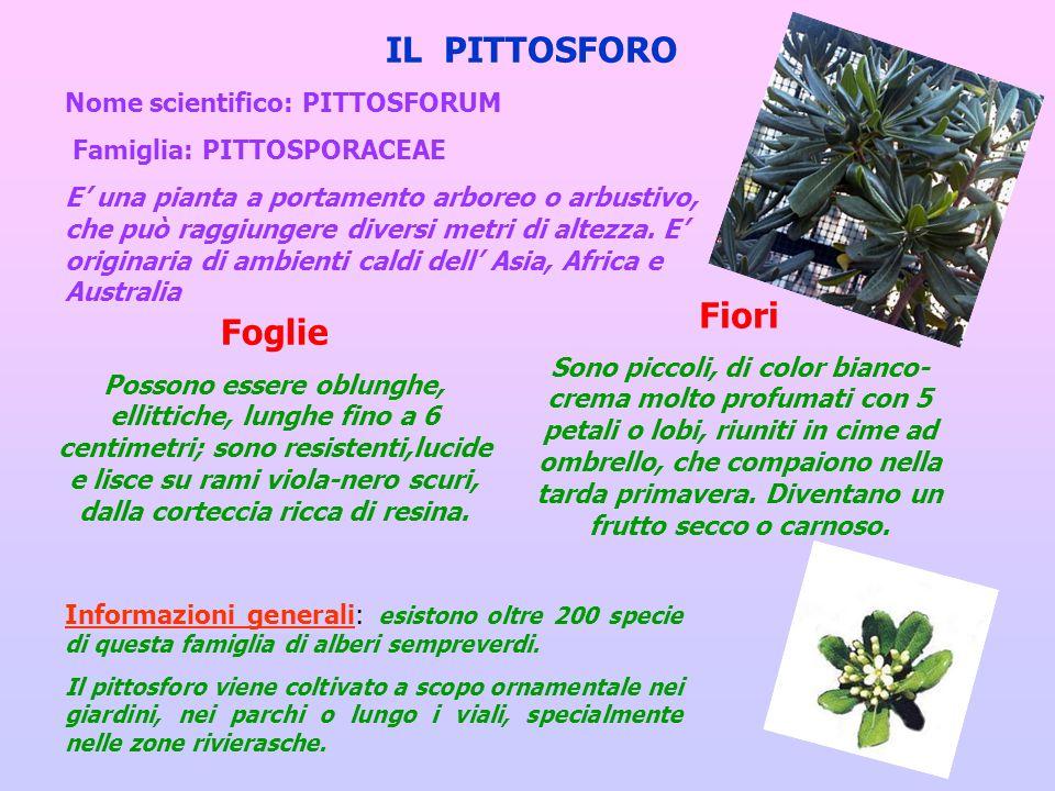 IL PITTOSFORO Nome scientifico: PITTOSFORUM Famiglia: PITTOSPORACEAE E una pianta a portamento arboreo o arbustivo, che può raggiungere diversi metri