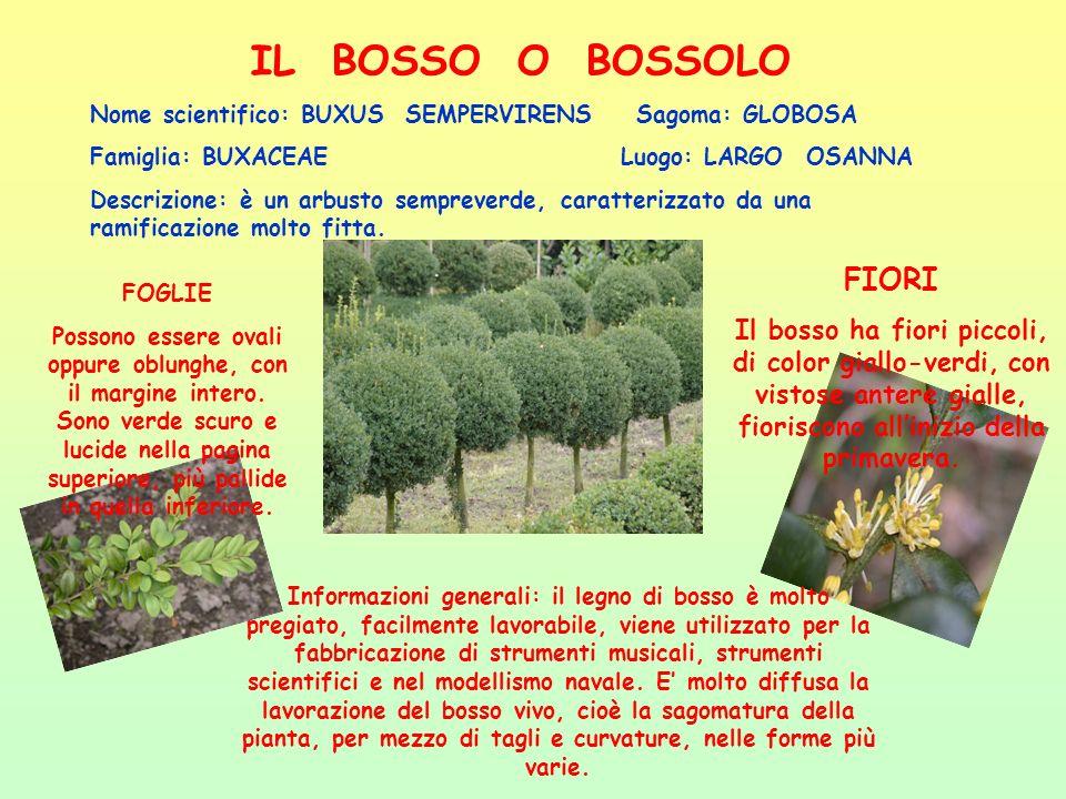 IL BOSSO O BOSSOLO Nome scientifico: BUXUS SEMPERVIRENS Sagoma: GLOBOSA Famiglia: BUXACEAE Luogo: LARGO OSANNA Descrizione: è un arbusto sempreverde,