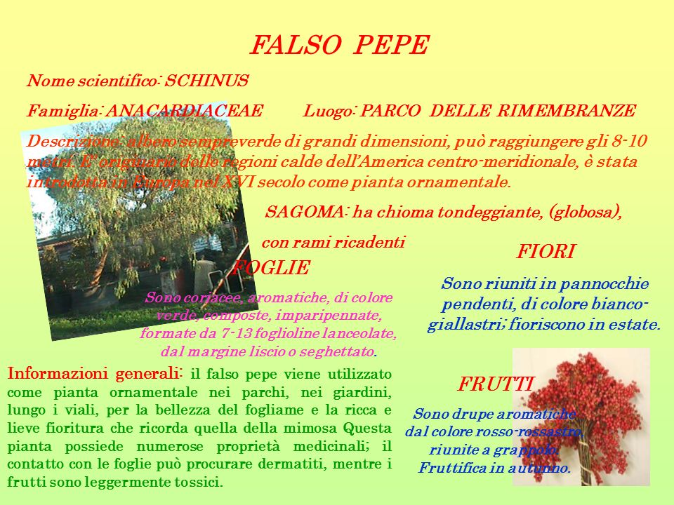FALSO PEPE Nome scientifico: SCHINUS Famiglia: ANACARDIACEAE Luogo: PARCO DELLE RIMEMBRANZE Descrizione: albero sempreverde di grandi dimensioni, può