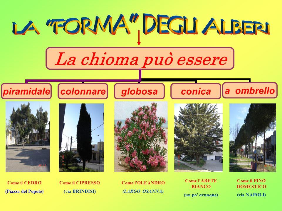 La chioma può essere piramidalecolonnareglobosaconica a ombrello Come lOLEANDRO (LARGO OSANNA) Come il CEDRO (Piazza del Popolo) Come il PINO DOMESTIC