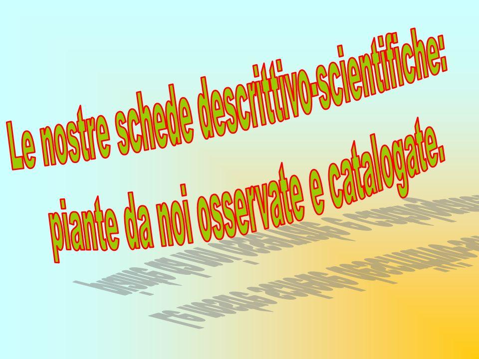 LA PALMA NOME SCIENTIFICO: CHAMAEROPS HUMILIS FAMIGLIA: ARECACEAE LUOGO LARGO OSANNA e PIAZZALE PADRE PIO DESCRIZIONE La CHAMAEROPS HUMILIS è una pianta sempreverde diffusa in Europa.