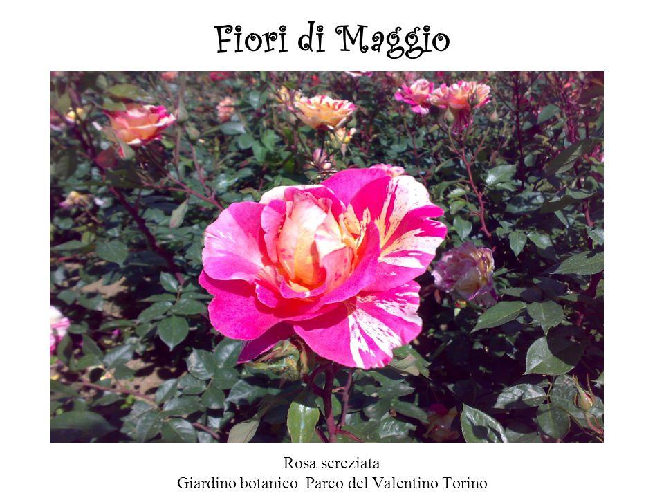 Fiori di Maggio Rosa screziata Giardino botanico Parco del Valentino Torino