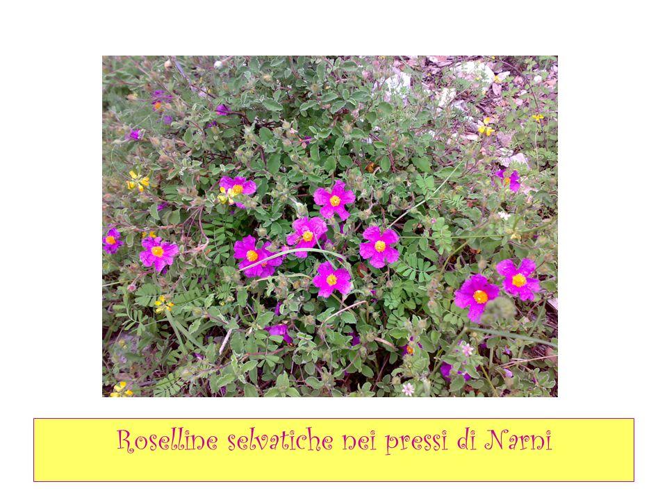 Roselline selvatiche nei pressi di Narni