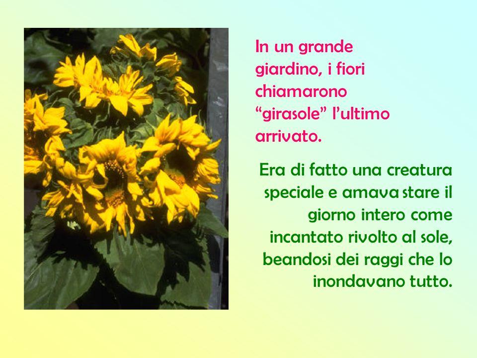 In un grande giardino, i fiori chiamarono girasole lultimo arrivato. Era di fatto una creatura speciale e amava stare il giorno intero come incantato