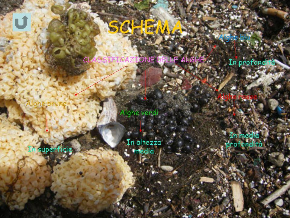 SCHEMA CLASSIFICAZIONE DELLE ALGHE Alghe brune In superficie Alghe verdi In altezza media Alghe rosse In media profondità Alghe blu In profondità