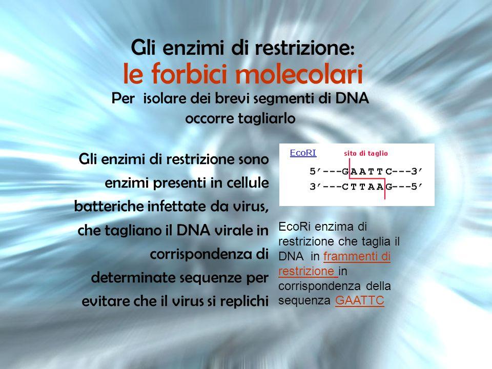 Gli enzimi di restrizione: le forbici molecolari Per isolare dei brevi segmenti di DNA occorre tagliarlo Gli enzimi di restrizione sono enzimi present