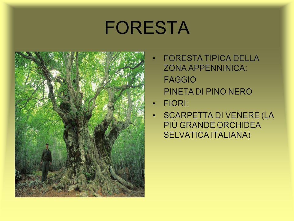 FORESTA FORESTA TIPICA DELLA ZONA APPENNINICA: FAGGIO PINETA DI PINO NERO FIORI: SCARPETTA DI VENERE (LA PIÙ GRANDE ORCHIDEA SELVATICA ITALIANA)