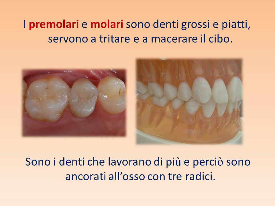 I premolari e molari sono denti grossi e piatti, servono a tritare e a macerare il cibo. Sono i denti che lavorano di pi ù e perci ò sono ancorati all