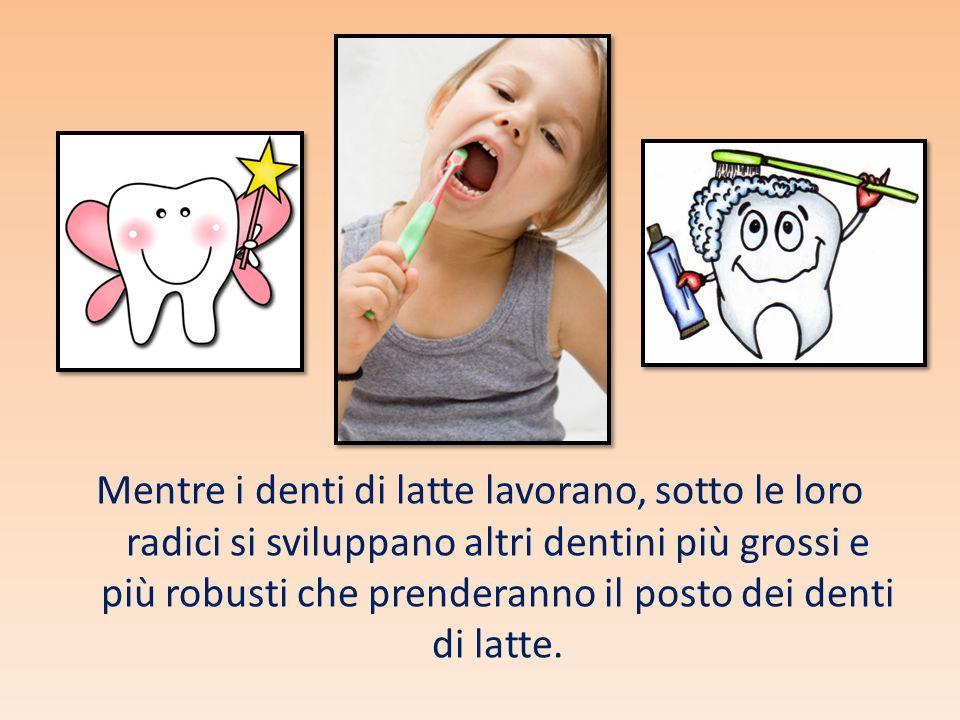 Mentre i denti di latte lavorano, sotto le loro radici si sviluppano altri dentini più grossi e più robusti che prenderanno il posto dei denti di latt