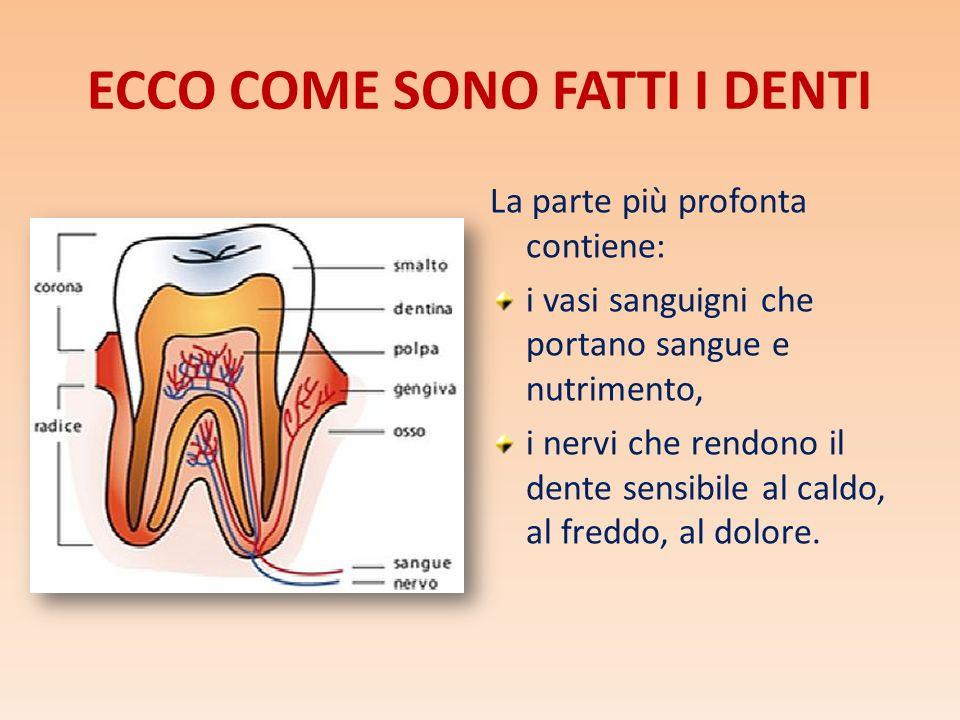 ECCO COME SONO FATTI I DENTI La parte più profonta contiene: i vasi sanguigni che portano sangue e nutrimento, i nervi che rendono il dente sensibile