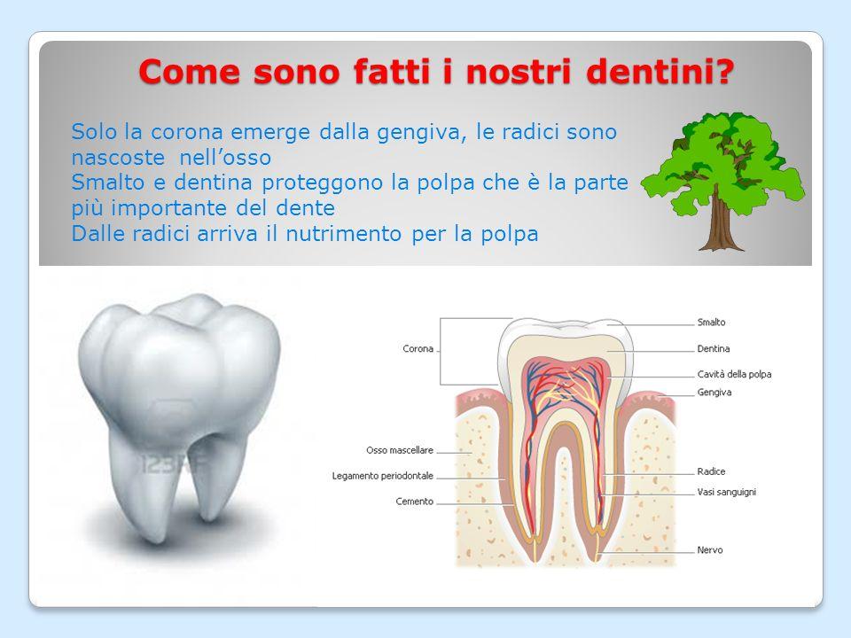 Quanti denti abbiamo in bocca? I dentini da grande che si formano dentro losso per arrivare in bocca dove possono lavorare sgranocchiano le radici dei