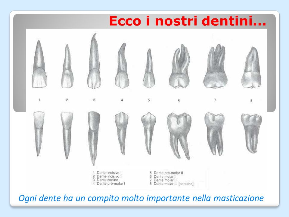 Come sono fatti i nostri dentini? Solo la corona emerge dalla gengiva, le radici sono nascoste nellosso Smalto e dentina proteggono la polpa che è la
