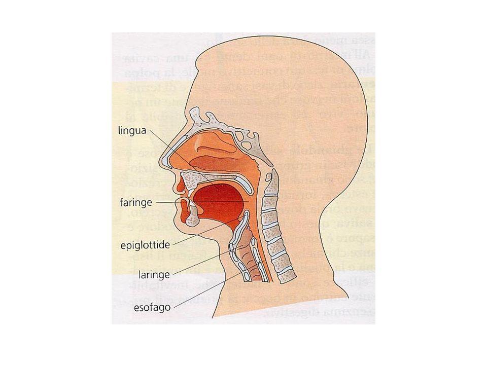 Il cibo dopo la masticazione è spinto nella faringe, organo costituito da un tubo situato nella parte posteriore della cavità orale, che è comune sia