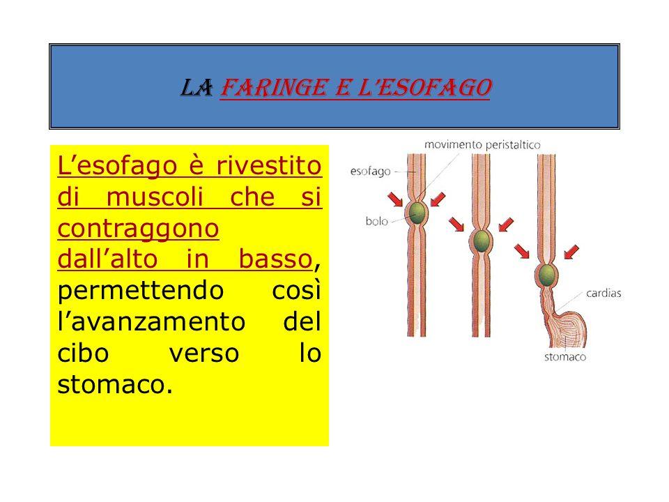 LA FARINGE E LESOFAGO La faringe prosegue verso il basso con lesofago, un tubo (lungo 25 cm) che attraversa il diaframma e arriva allo stomaco.