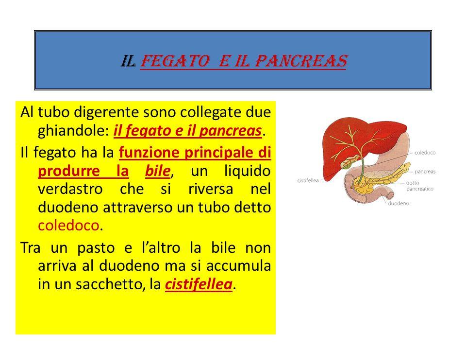 Al cieco segue il colon (colon ascendente, trasverso e colon discendente, continuando poi nel retto, ultima parte dellintestino che sbocca allesterno