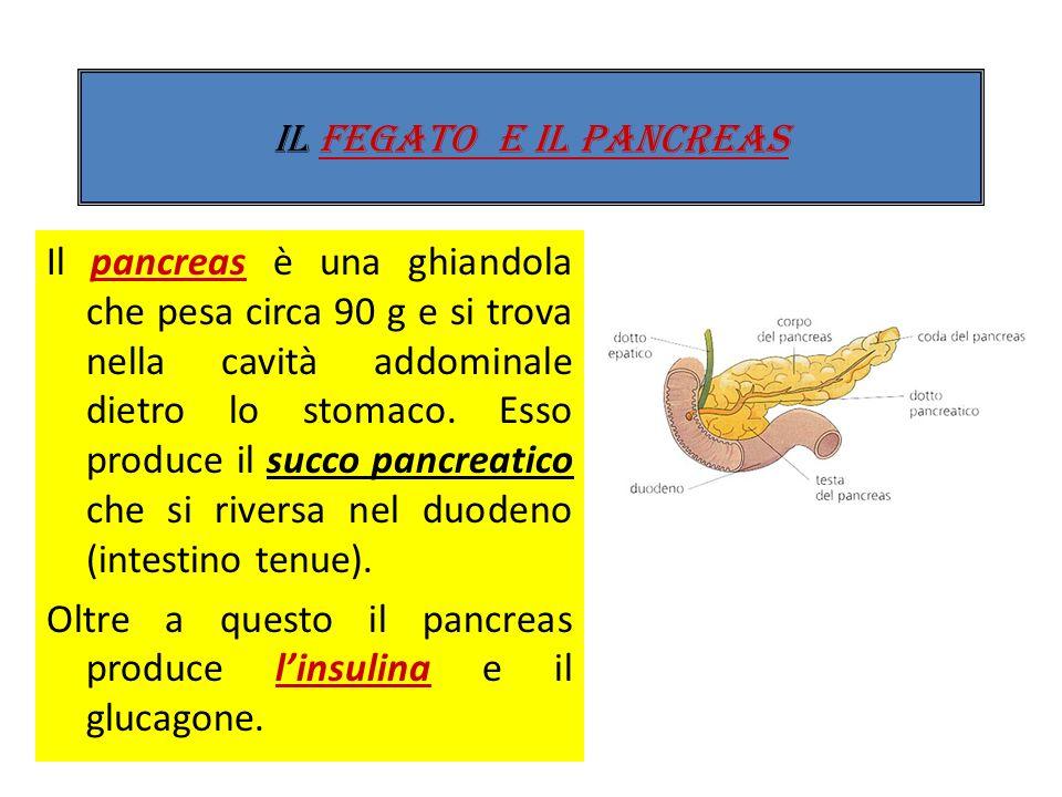 Al tubo digerente sono collegate due ghiandole: il fegato e il pancreas. Il fegato ha la funzione principale di produrre la bile, un liquido verdastro
