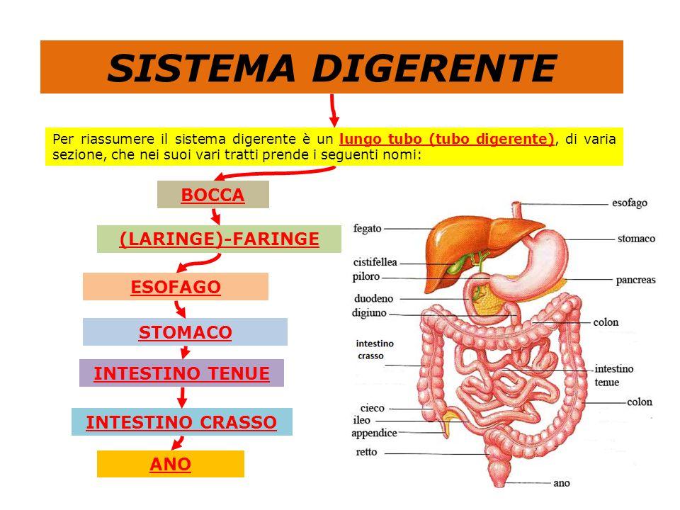 al sistema circolatorio che trasporta le sostanze nutritive alle cellule Il sistema digerente è, pertanto, strettamente collegato Quindi entra in gi