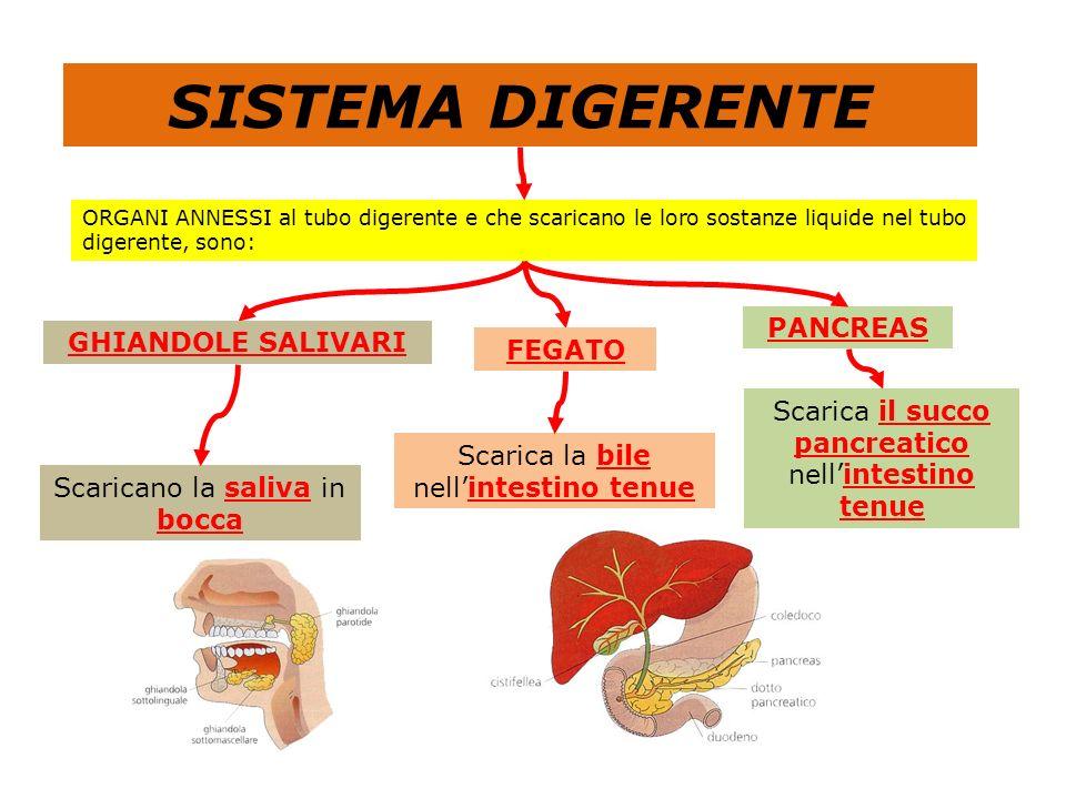 BOCCA Per riassumere il sistema digerente è un lungo tubo (tubo digerente), di varia sezione, che nei suoi vari tratti prende i seguenti nomi: ESOFAGO