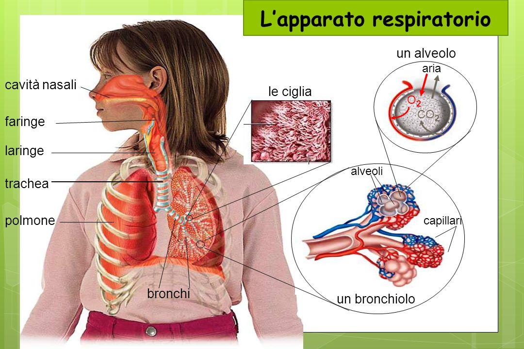 cavità nasali faringe laringe trachea polmone bronchi capillari un bronchiolo alveoli un alveolo O2O2 CO 2 aria le ciglia Lapparato respiratorio