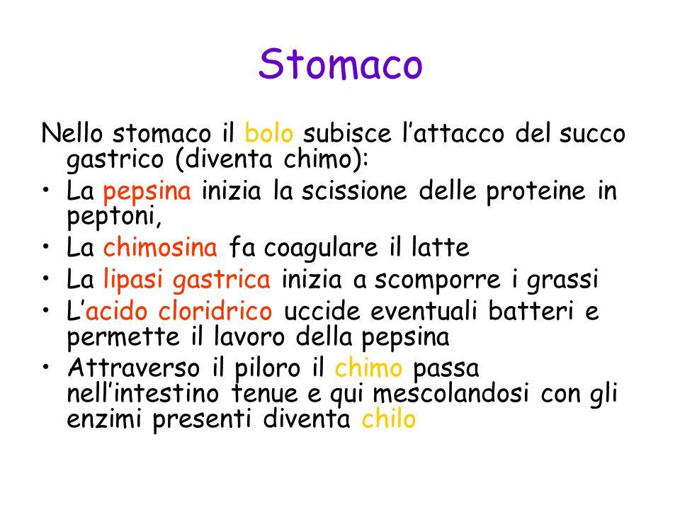 Stomaco Nello stomaco il bolo subisce lattacco del succo gastrico (diventa chimo): La pepsina inizia la scissione delle proteine in peptoni, La chimos